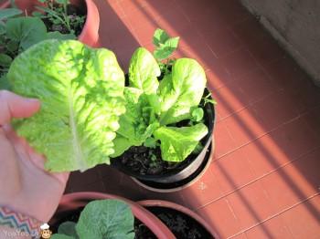 feuille de salade sur mon balcon