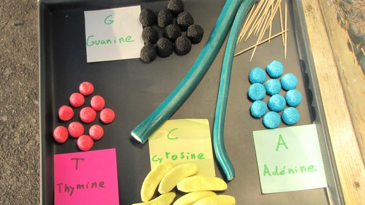 adn bonbon acide aminé Adénine cytosine guanine thymine