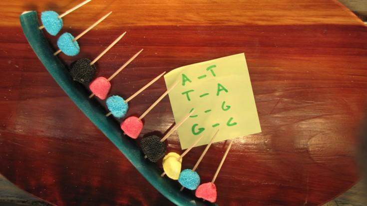 adn en bonbon acgt première chaine