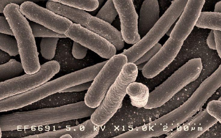 Escherichia coli Grossissement × 15 000 Cette bactérie compose 80% de notre flore intestinale
