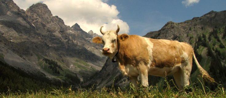 vache à corne dans un pâturage suisse.